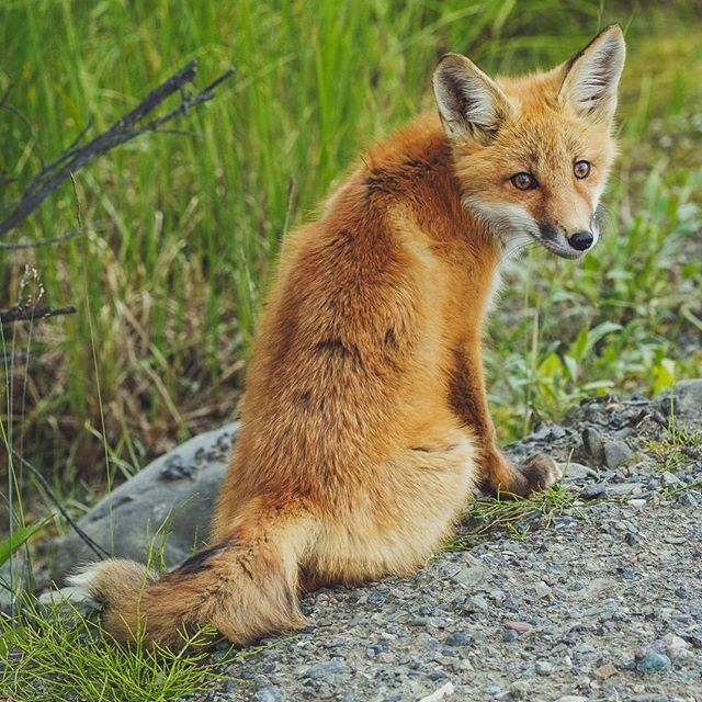 Beautiful young fox I encountered on the Dempster highway