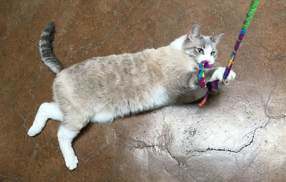 cat-playing-ribbon.jpg