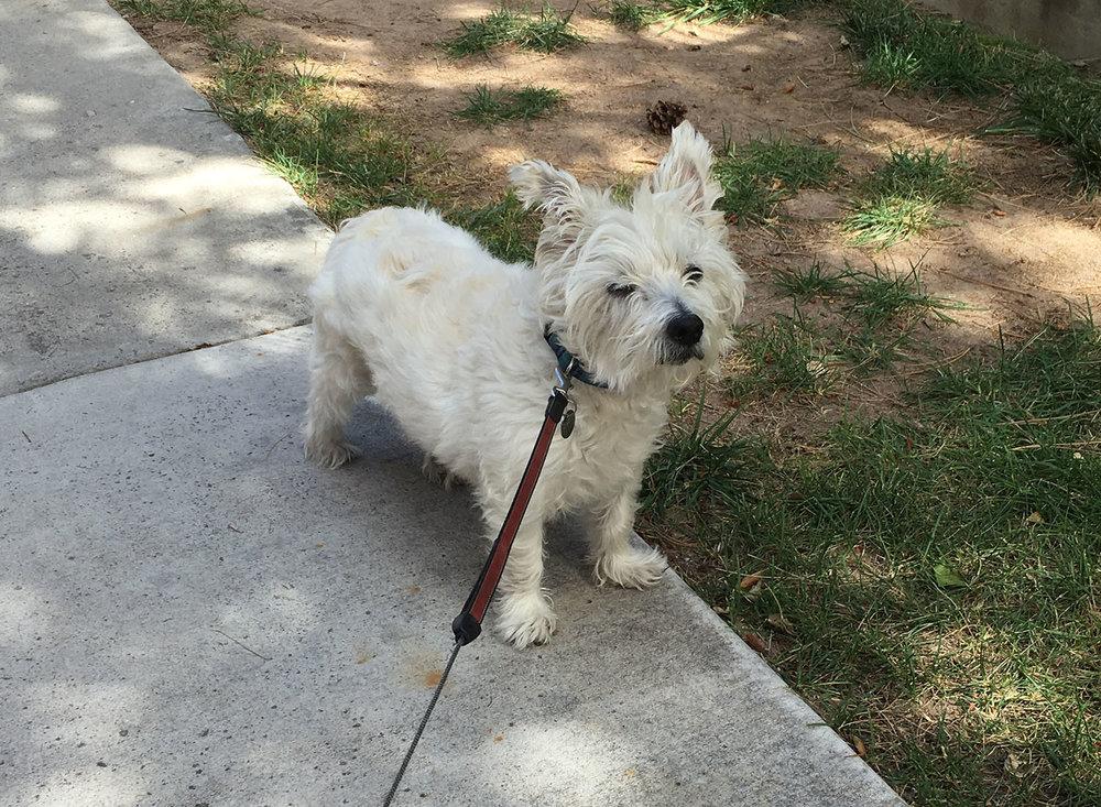 west-highland-white-terrier.jpg