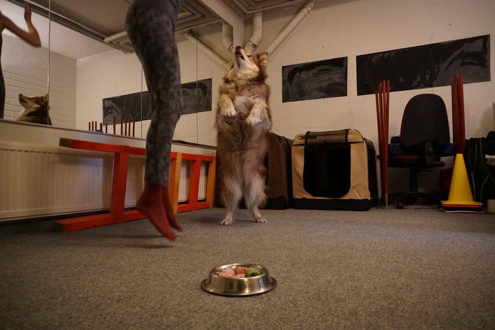 JUMP! Naavan yksi lempitempuista, hyppy suoraan ylöspäin, onnistuu edelleen itsevarmasti myös ruokakupin häiriössä.