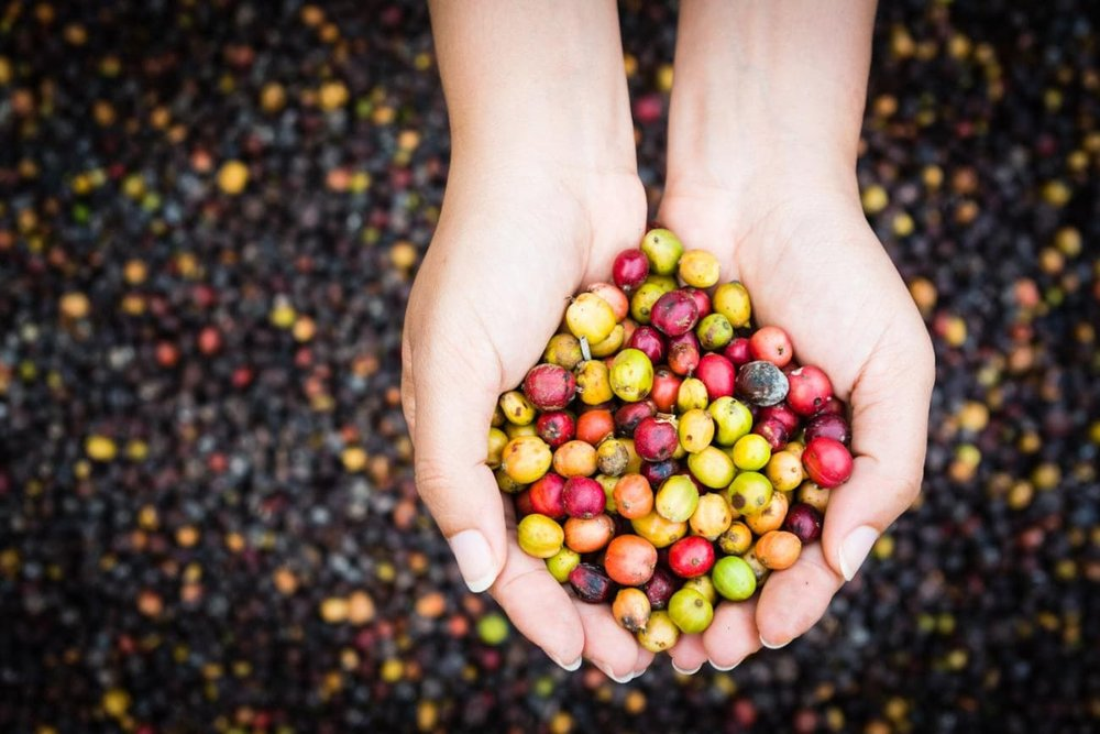 Our locally-roasted coffee beans start out as these beautiful coffee seed pods
