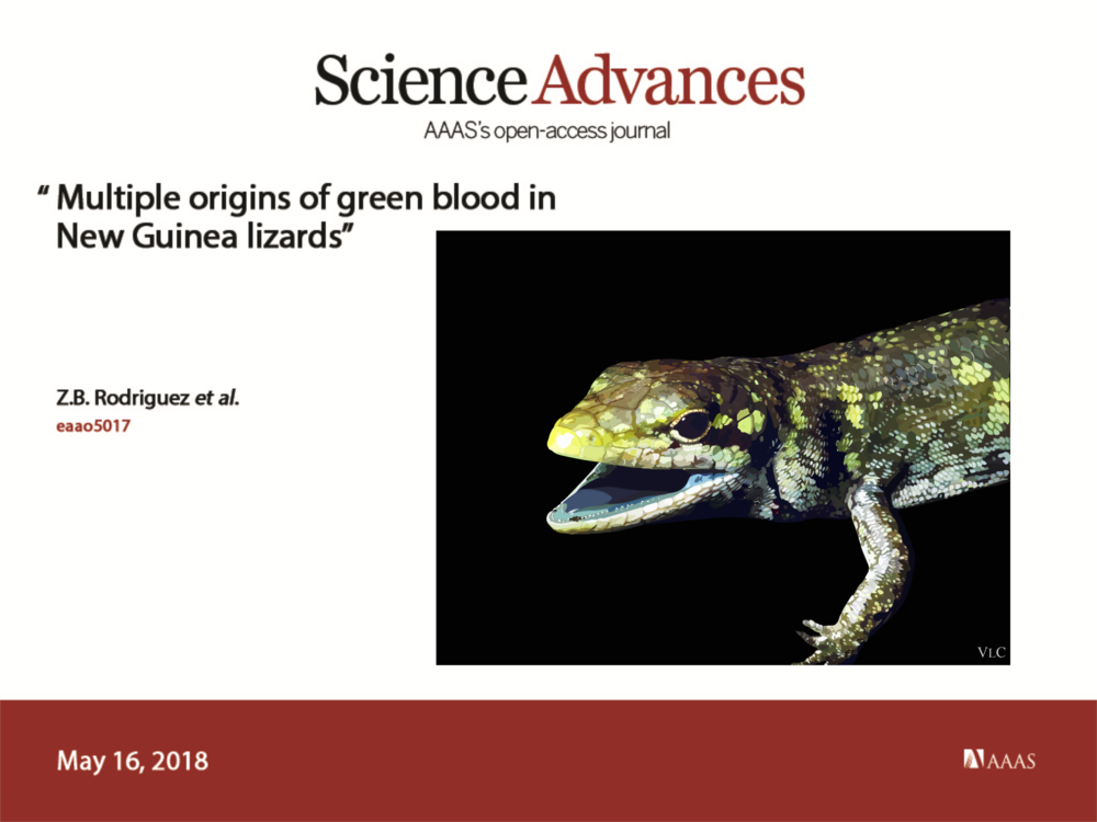 "Our paper in Science Advances is out: ""Multiple origins of green blood in New Guinea lizards"". Thanks to Vivien Chua for the beautiful digitized  Prasinohaema prehensicauda"