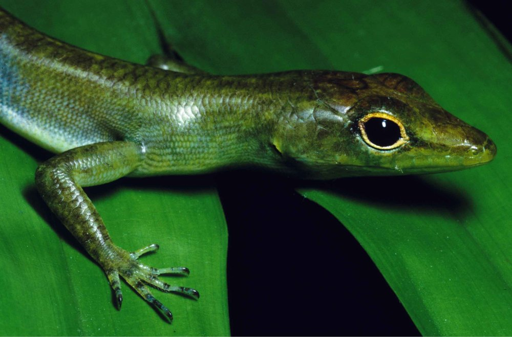 Prasinohaema virens,  a low elevation species of green blooded lizard. Photo credit: Christopher Austin.