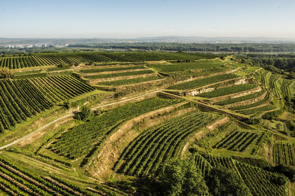 Ried Leithen - Die Riede Leithen ist die beste Riede des Hauses. Sie ist eine reine Südlage mit steilen Lössterrassen. Die Weingärten hier sind die ältesten des Hauses. Sie wurzeln unglaublich tief und bringen Jahr für Jahr Trauben in perfekter Reife vor, die für uns einen nicht ersetzbaren Wert haben.
