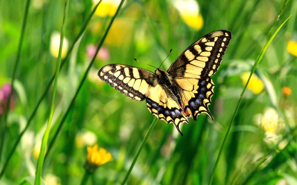 Monarchfalter-0.jpg