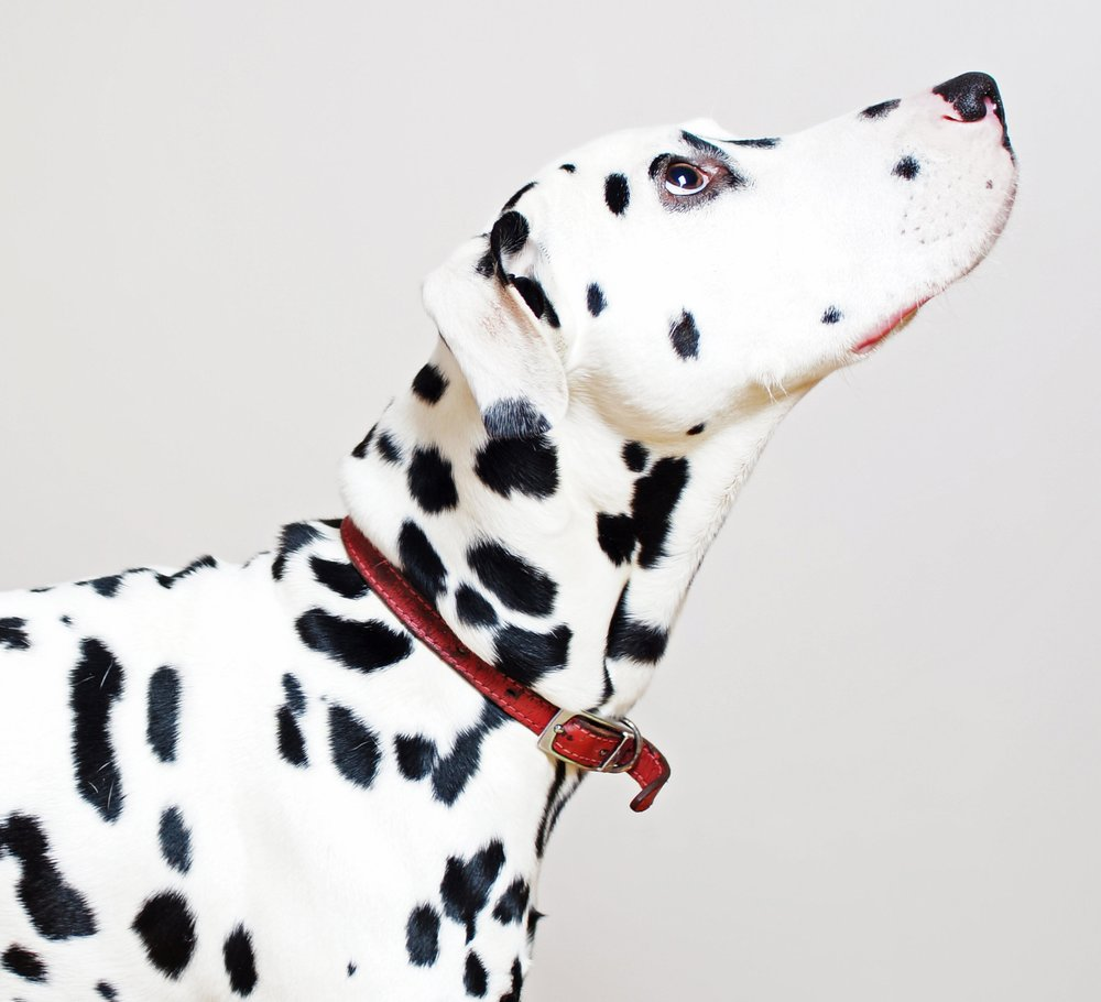 Dalmatian-looking-up-162143611_3127x2969.jpeg