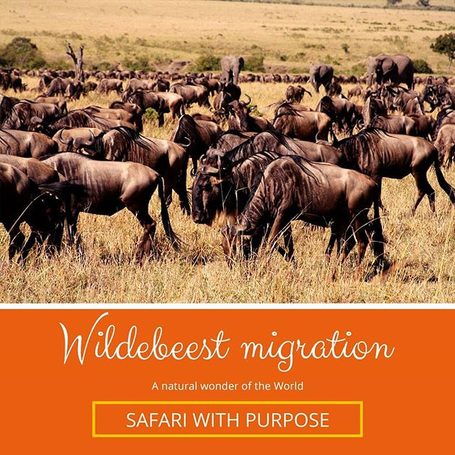 A term used to describe the migration of hundreds of thousands of wildebeests and zebras. They enter Kenya somewhere in July following the rainfall patterns and the growth of new grass and stay in the region until October. During this time they will often cross the rivers where the most exciting and gut-wrenching moments happen. All the predators circle known crossings and you can see the harsh reality of nature in play. Now is the perfect time to start planning your #safariwithpurpose Book your spot at humansforeducation.org/experience . . . . . #humans4edu #africansafari #donate #ig_africa #causes #wildlife #education #fundraiser #thisissouthafrica #insta_mazing #tembeakenya #wildlife_perfection #donation #charitychallenge #magicalkenya #wildlifephotography #wildlifeonearth #traveltheworld #traveller #instapassport #lonelyplanet #instatraveling #ngo #wildebeest #migration