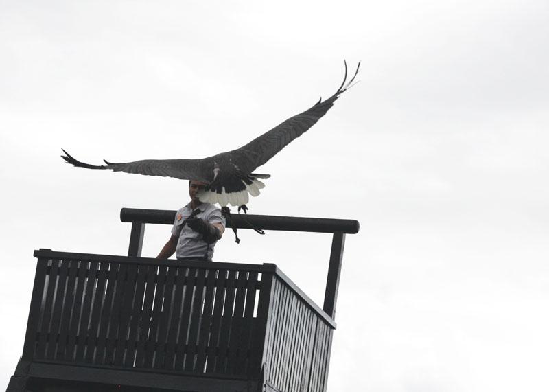 birds of prey performing at the Bali Bird Park