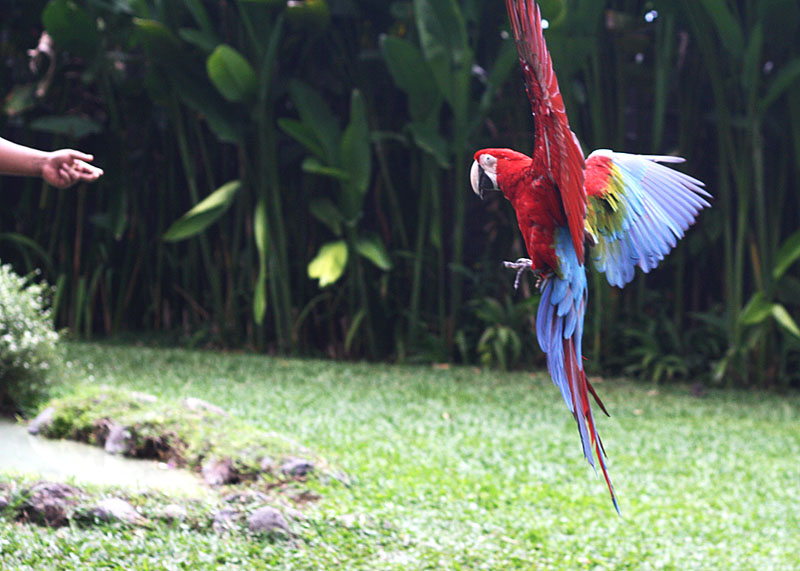 Amazon parrots performing at the Bali Bird Park