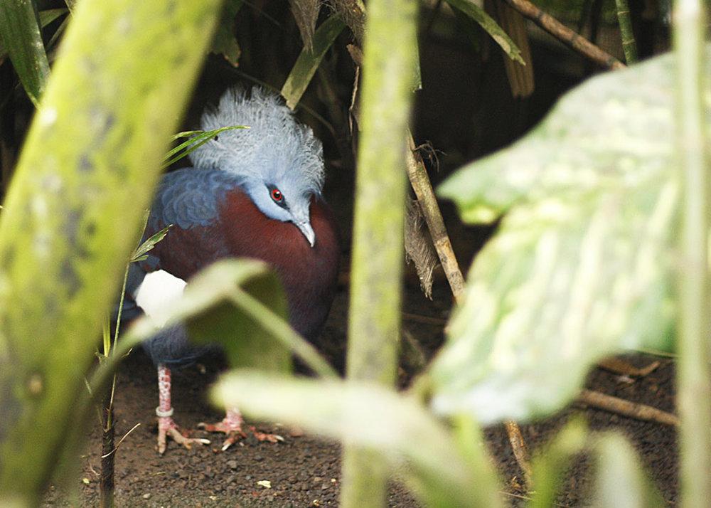pidgeon at the Bali Bird Park