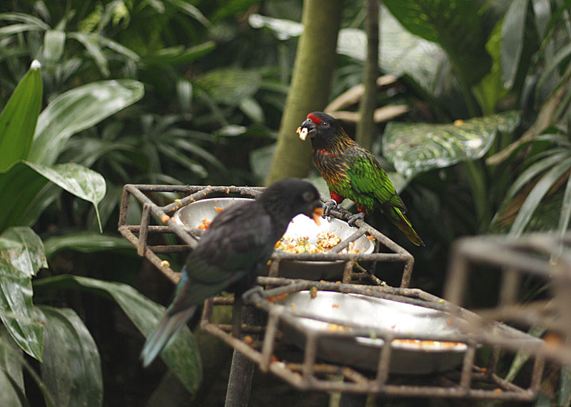 Lorry feeding at the Bali Bird Park