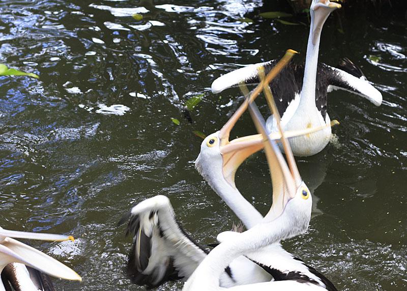pelicans at the bali bird park