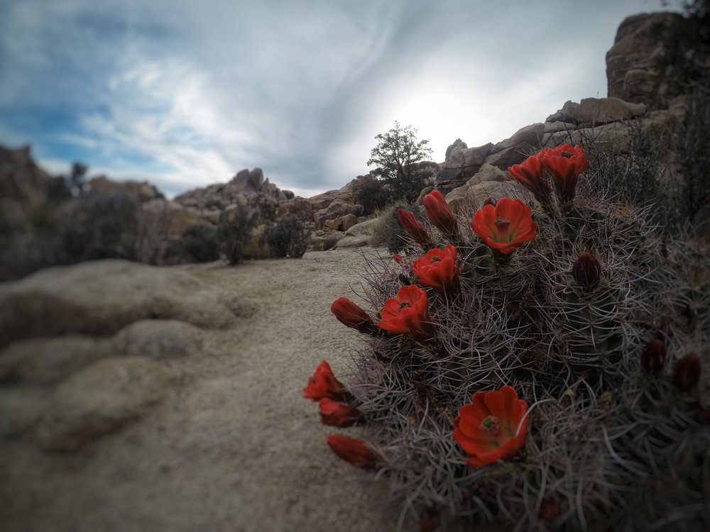 Joshua Tree Red Flowers.JPG