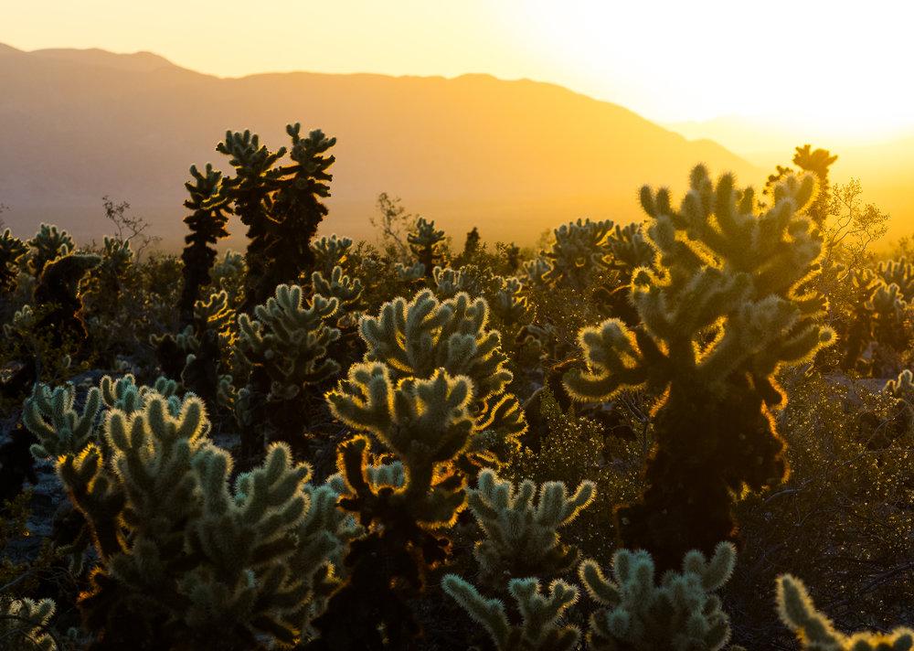 Cholla Cactus Joshua Tree National Park-27.jpg