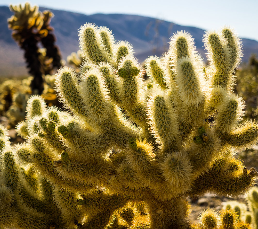 Cholla Cactus Joshua Tree National Park-10.jpg