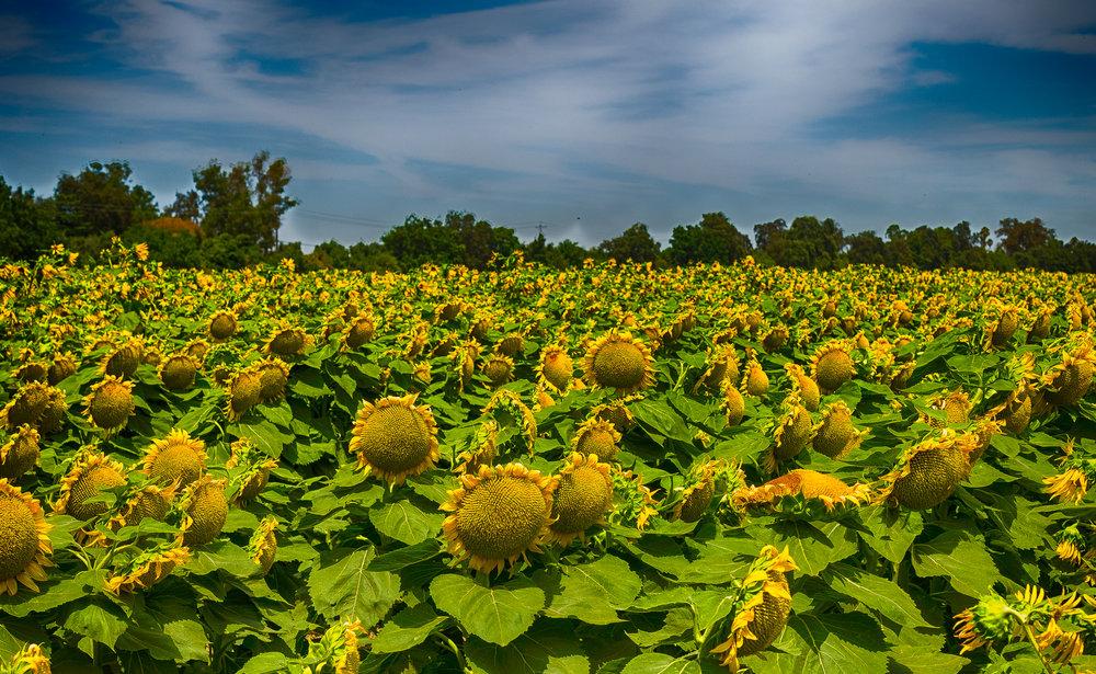 Sunflowers-41_HDR.jpg