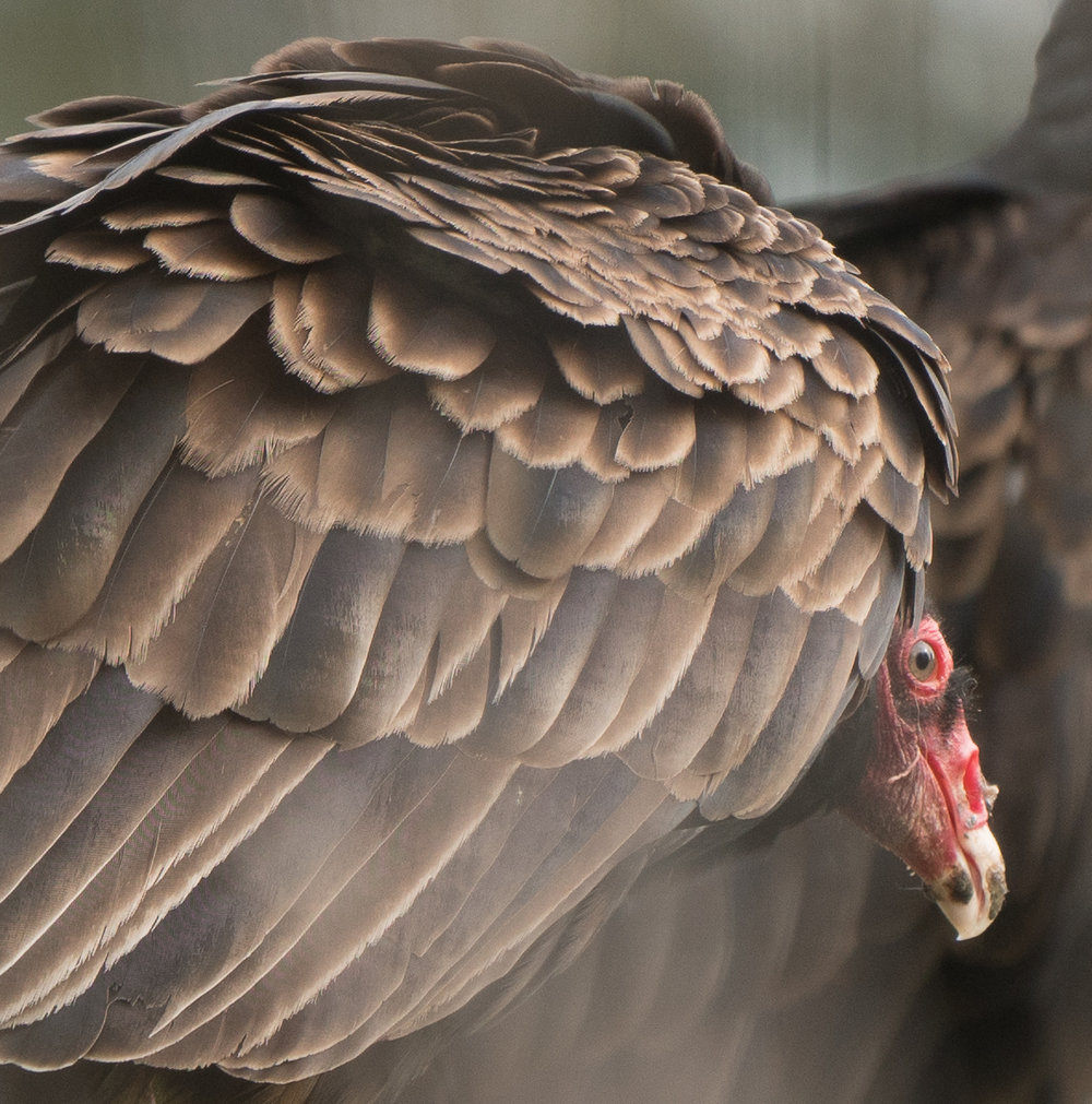 Turkey Vultures-12.jpg