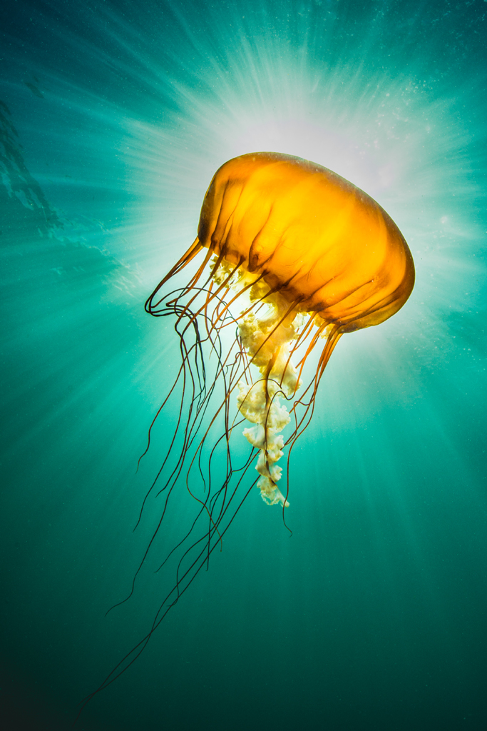 Sea Nettle Sunburst