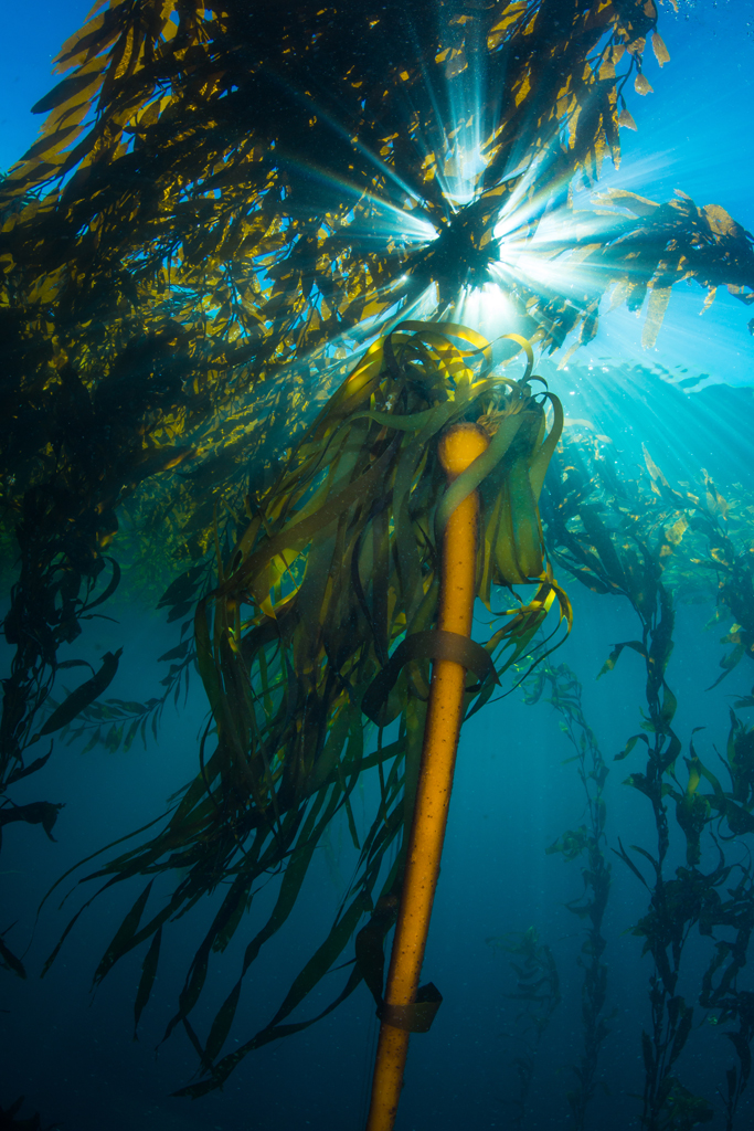 Bull Kelp Beams