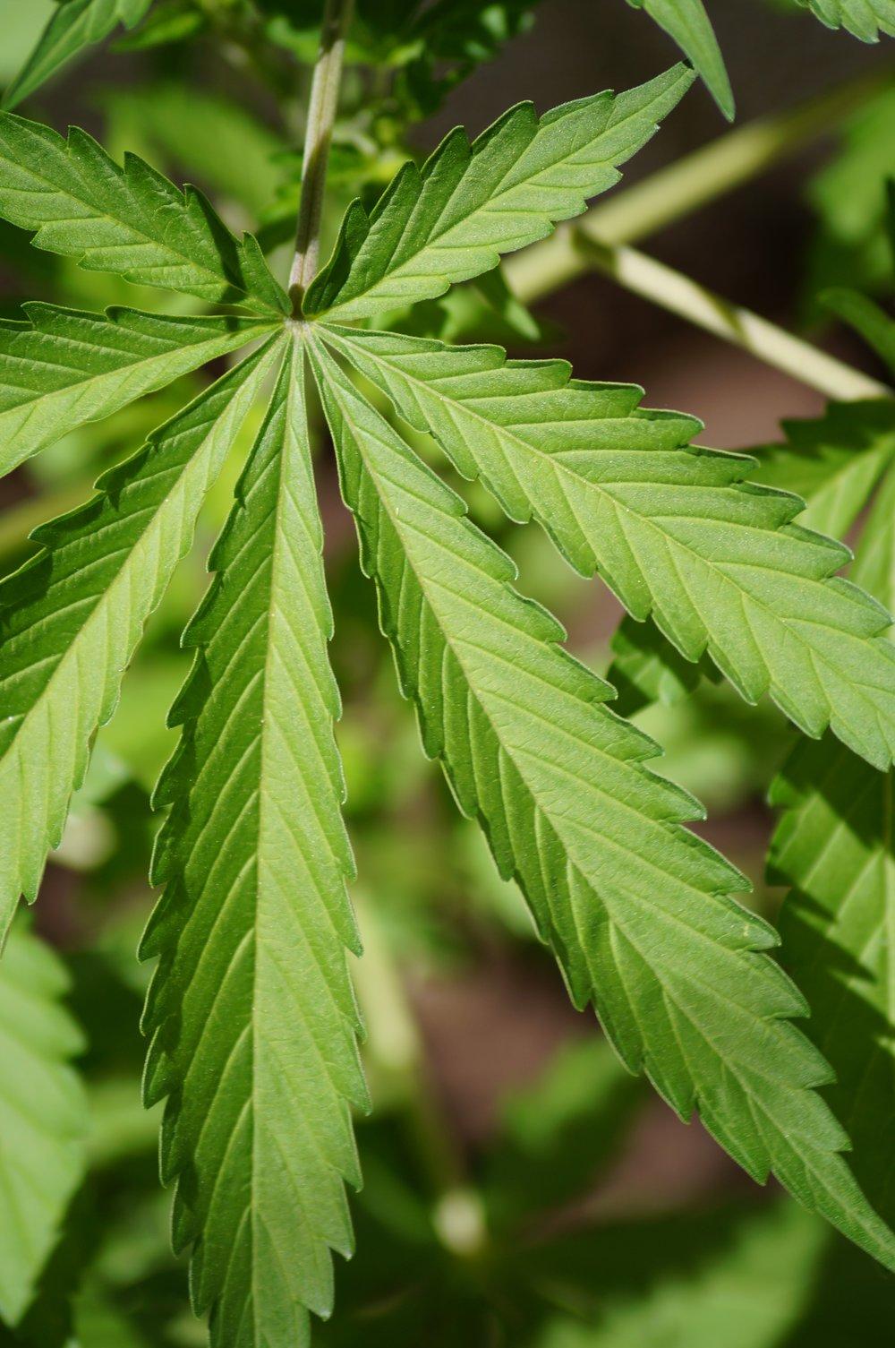 cannabis-956547.jpg