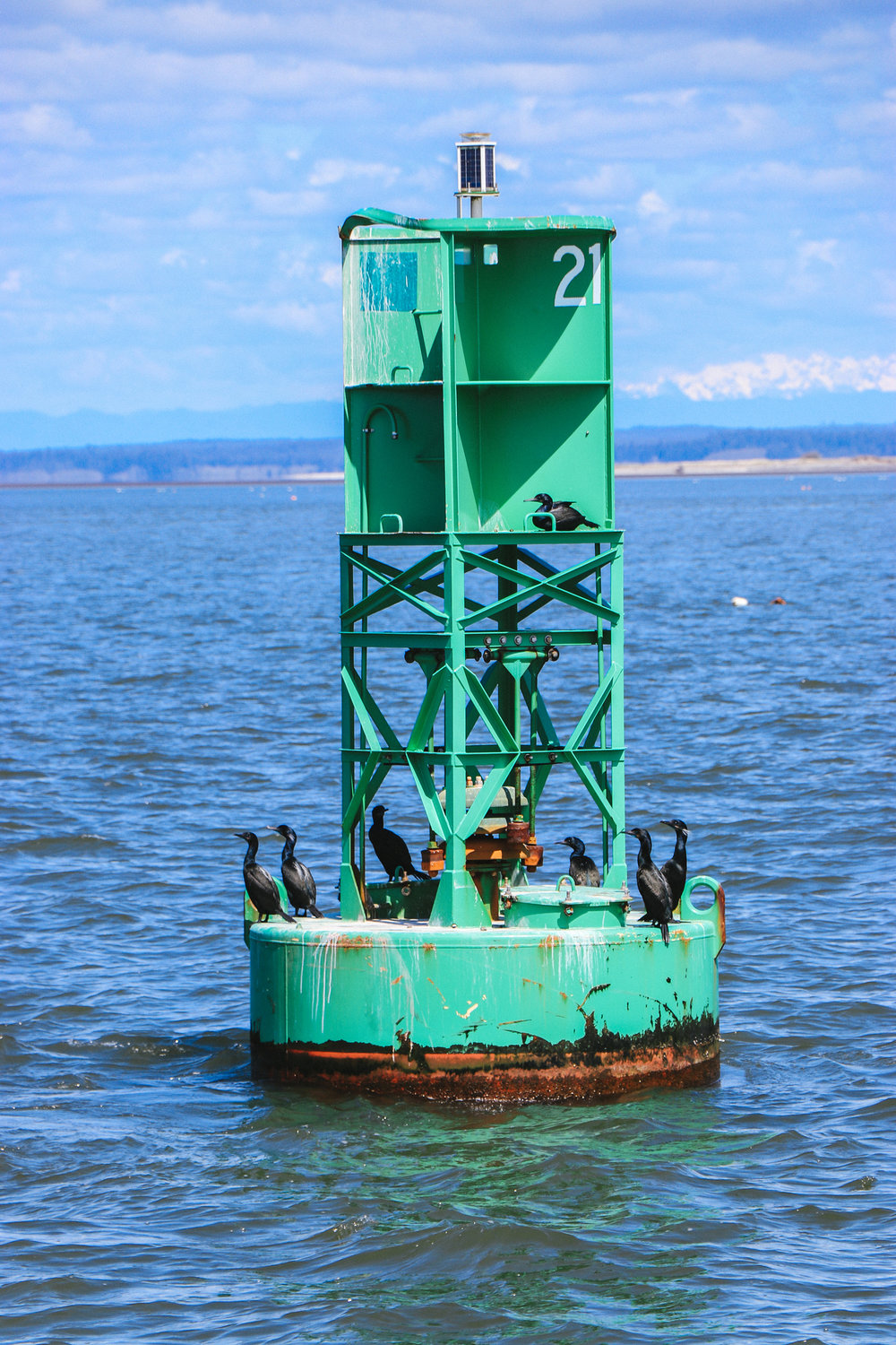 Cormorants on a buoy out in Grays Harbor