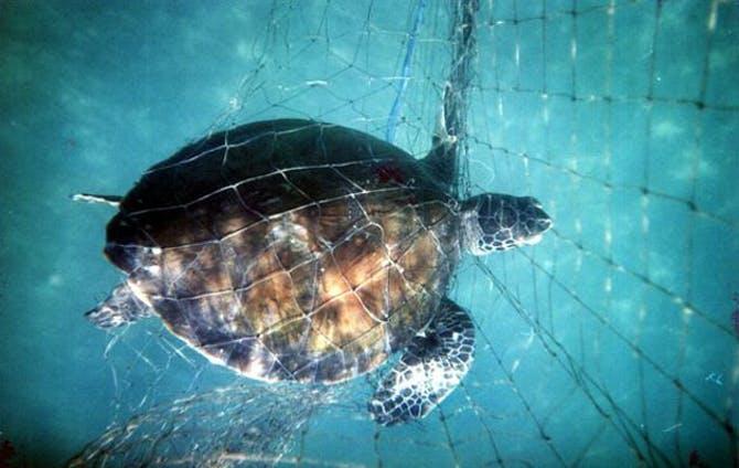 Lähde: National Geographic. Kilpikonna juuttuneena verkkoon.