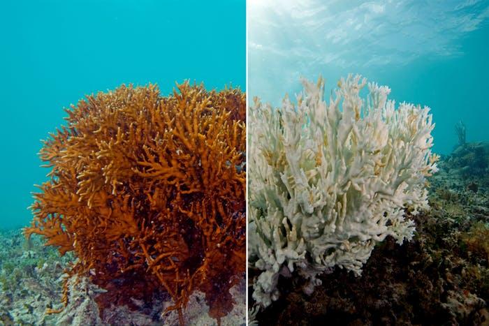 """Lähde: Chasing Coral"""" - vasemmalla kuollut koralli"""