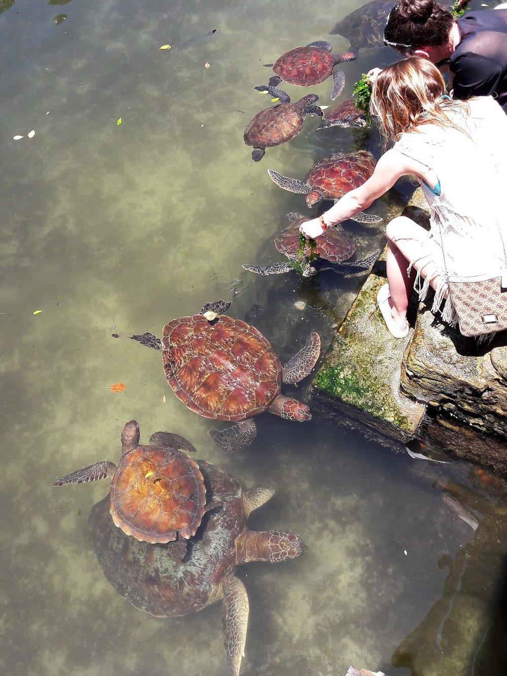Turistit ruokkivat merikilpikonnia