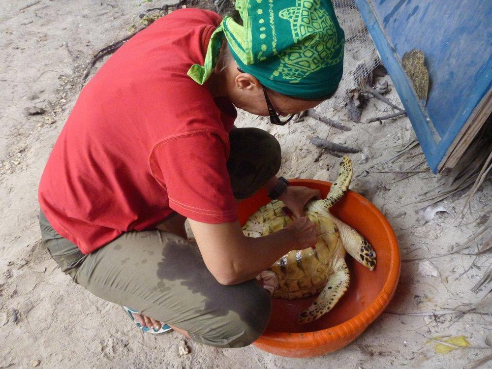 Sansibarilla. Nuori karettikilpikonna on selviytynyt kokoon, jossa sen elämää uhkaa lähinnä enää ihminen ja meren saasteet