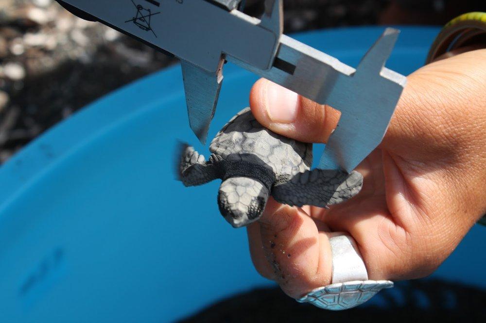 Konnanpoikaset mitataan ennen kuin ne jatkavat  matkaansa hietikolta mereen