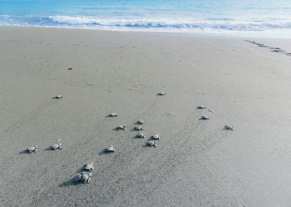 Poikaset suuntaavat kohti merta.