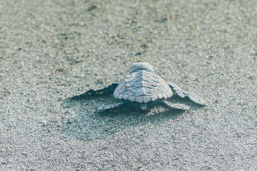 Poikasen matka hiekkarannalta mereen kestää jopa 12 minuuttia.