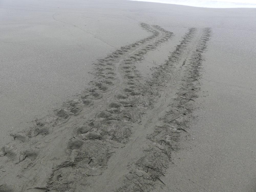 Jäljet hiekassa - upea tunne siitä, että kilpikonna on selvinnyt kaikista haasteista ja tullut munimaan rannalle.