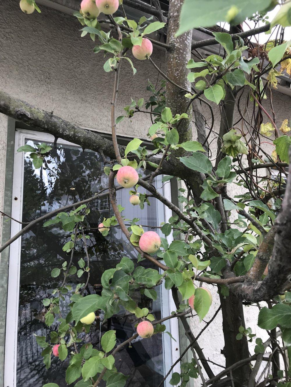 Toimiston edessä kasvaa ihastuttava vanha omenapuu