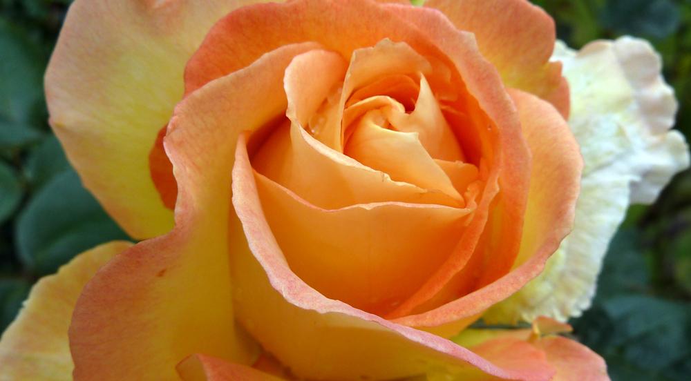 2012_0622-rose-for-rosie-wordpress.jpg