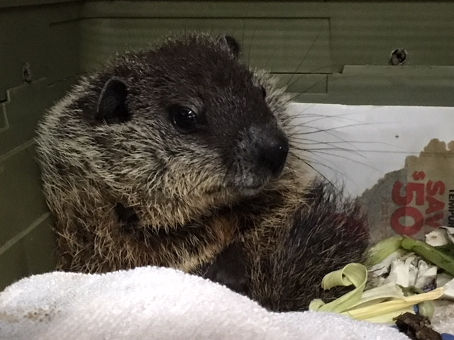 groundhog woodchuck.JPG