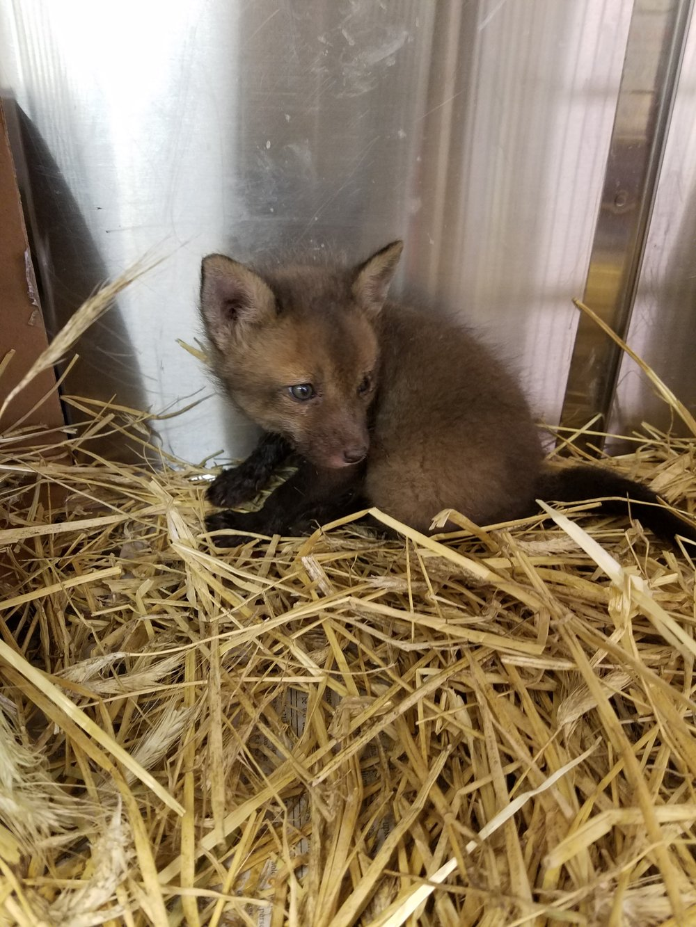 baby fox kit Philadelphia Metro Wildlife Center