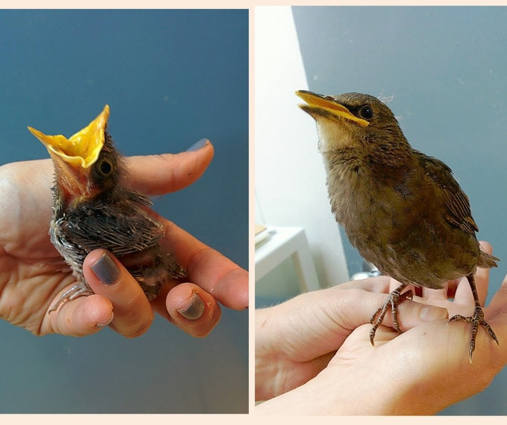 Left - a nestling songbird. Right - a fledgling songbird
