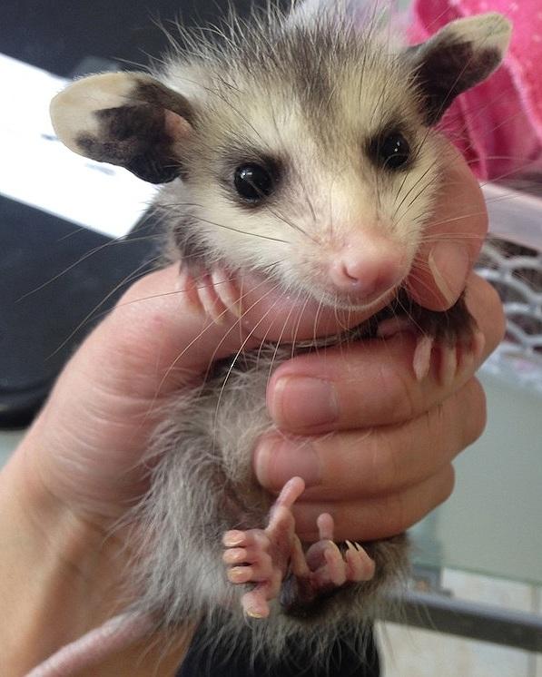 Baby Possum