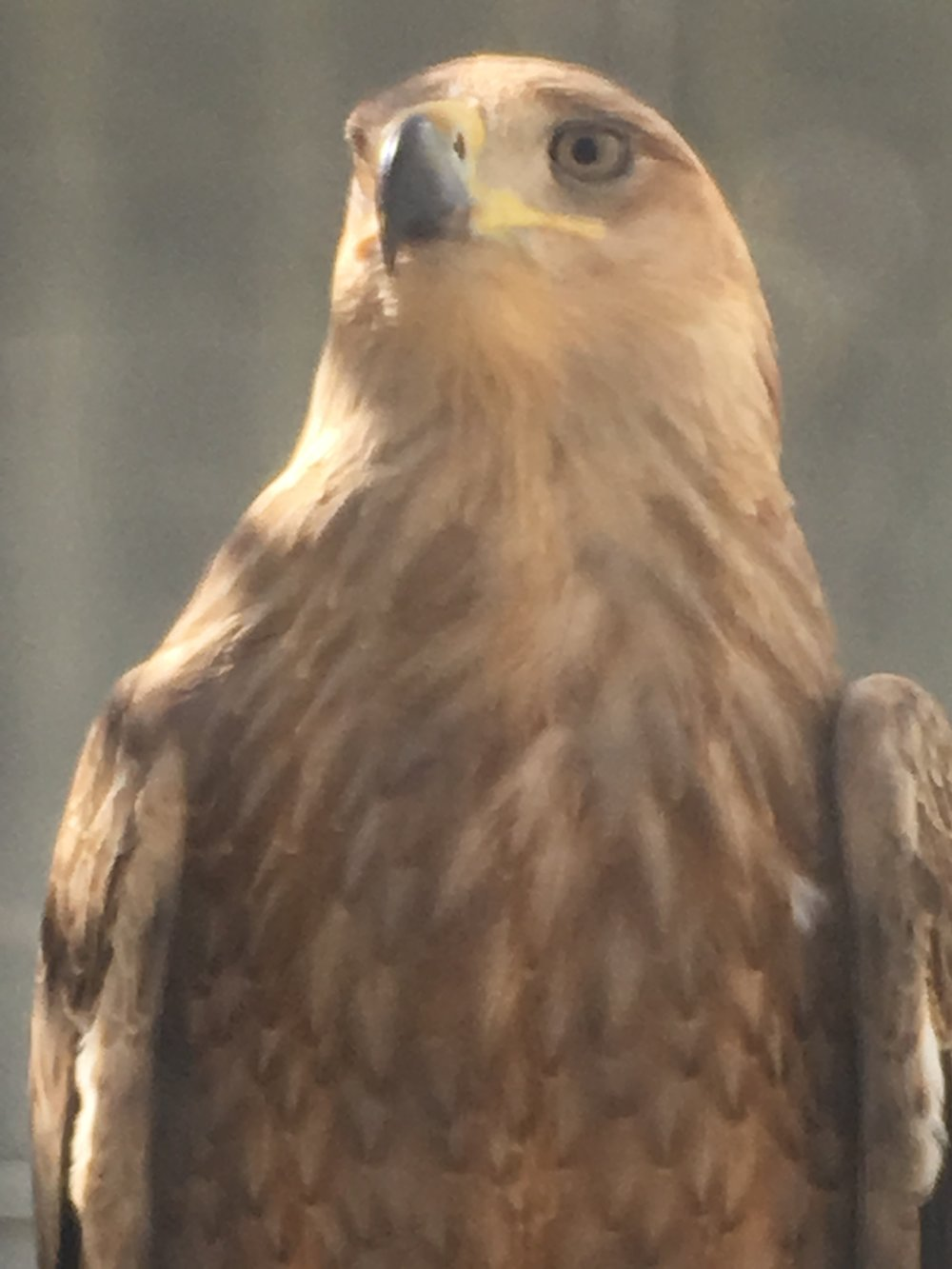 NEI Ranch Tawny eagle