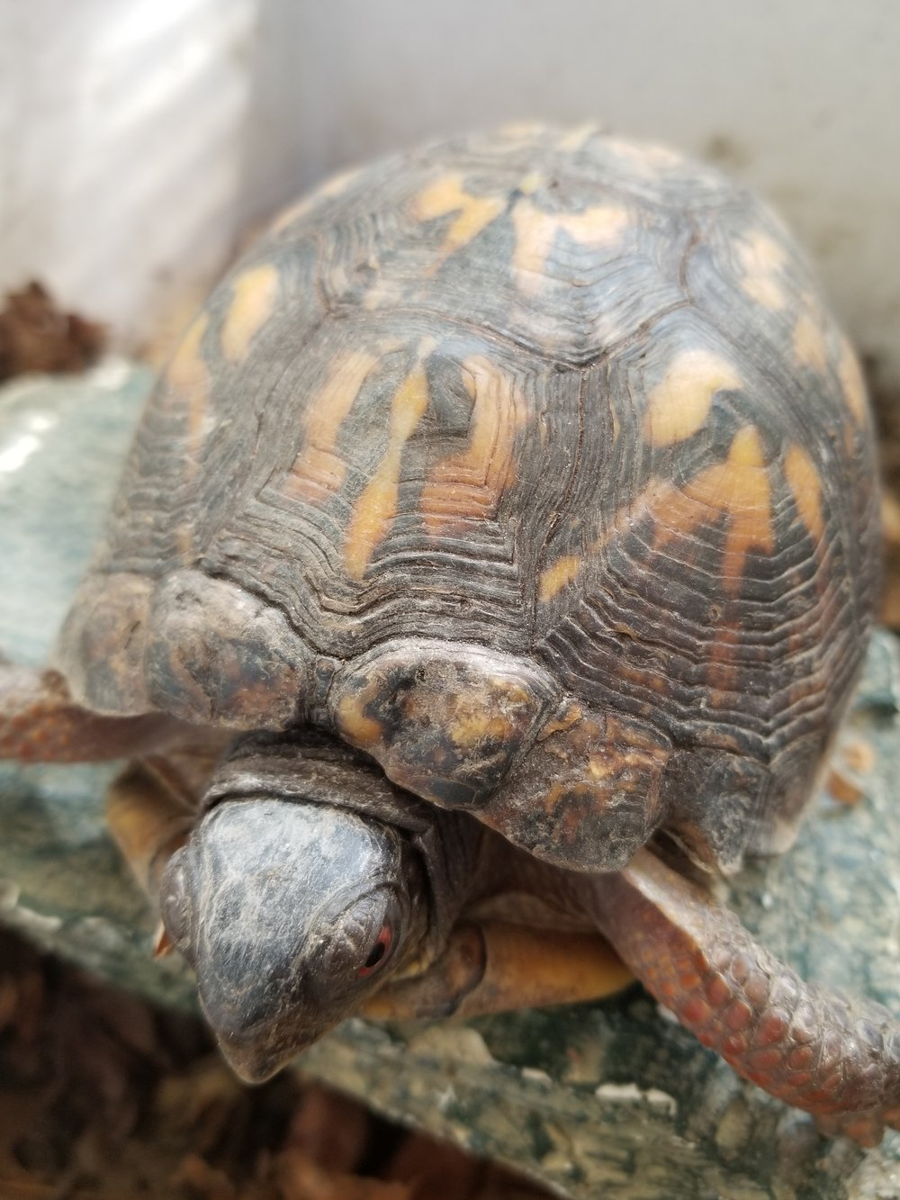Three toed box turtle- Philadelphia Metro Wildlife Center