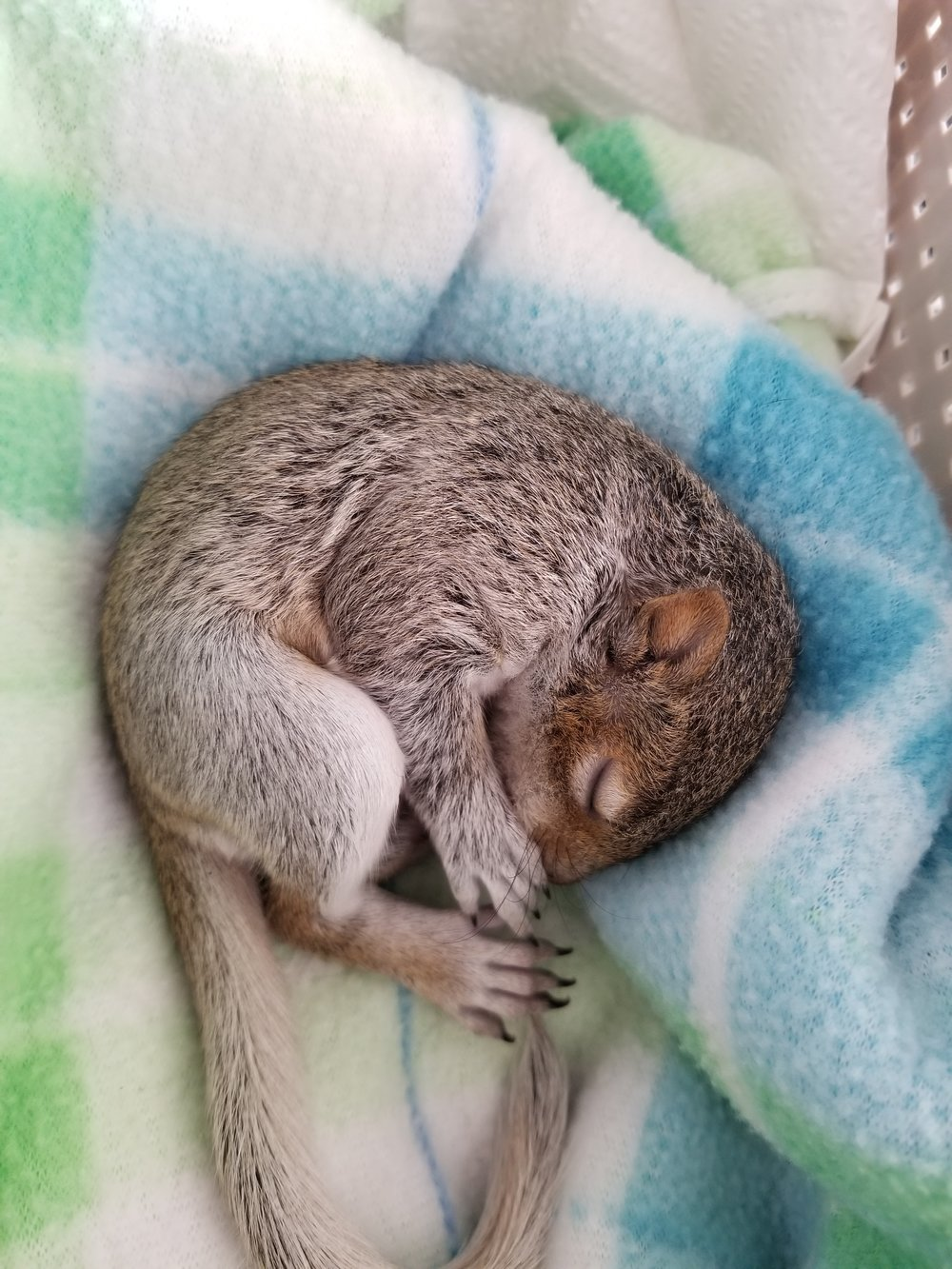 I found a baby squirrel -