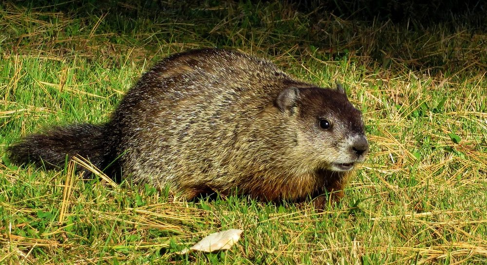 I have groundhogs/skunks living under my deck! -