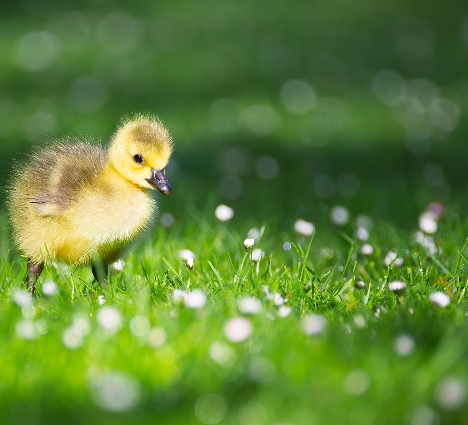 I found a baby gosling (or duckling)! -