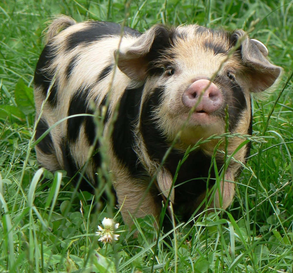 About EKPA - EKPA is a group of dedicated Kunekune pig breeders and owners who are striving to preserve the breed through education, breed promotion and youth development.Learn More
