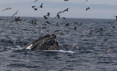 lunge feeding baleen whale.jpg