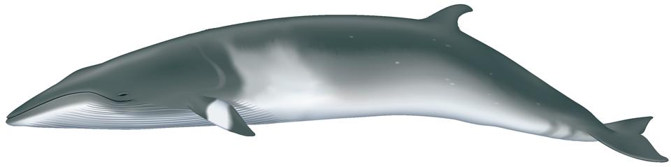 Minke Whale (balaenoptera acutorostrata)