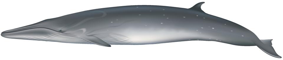 Bryde's Whale (balaenoptera brydei/edeni)