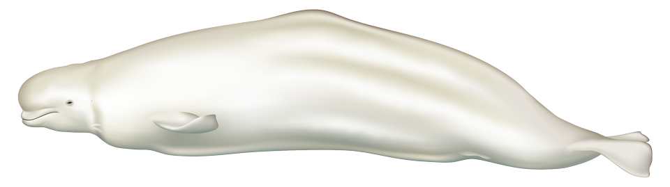 Beluga Whale (delphinapterus leucas)