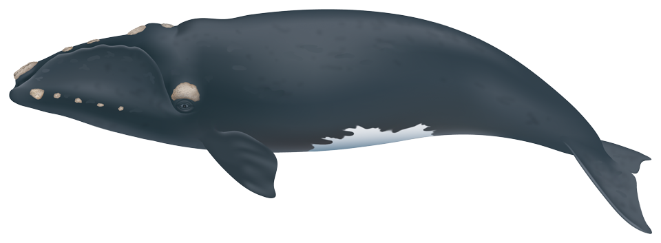 North Atlantic Right Whale (eubalaena glacialis)